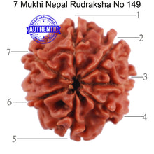 Load image into Gallery viewer, 7 Mukhi Nepalese Rudraksha - Bead No. 149