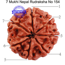 Load image into Gallery viewer, 7 Mukhi Nepalese Rudraksha - Bead No. 154