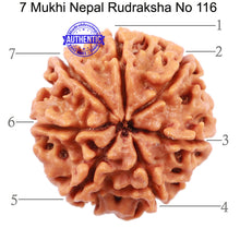 Load image into Gallery viewer, 7 Mukhi Nepalese Rudraksha - Bead No. 116