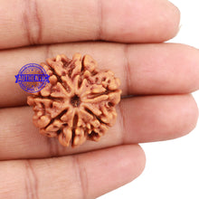 Load image into Gallery viewer, 7 Mukhi Nepalese Rudraksha - Bead No 117