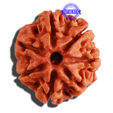 Load image into Gallery viewer, 7 Mukhi Nepalese Rudraksha - Bead No 270