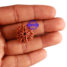 Load image into Gallery viewer, 7 Mukhi Nepalese Rudraksha - Bead No 304