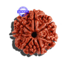 Load image into Gallery viewer, 7 Mukhi Nepalese Rudraksha - Bead No 307