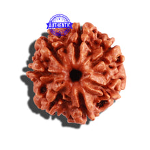 Load image into Gallery viewer, 7 Mukhi Nepalese Rudraksha - Bead No 314