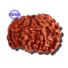 Load image into Gallery viewer, 7 Mukhi Nepalese Ganesha Rudraksha - Bead No 287