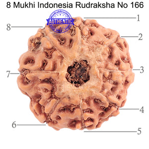 8 Mukhi Rudraksha from Indonesia - Bead No. 166