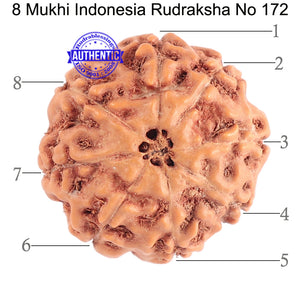8 Mukhi Rudraksha from Indonesia - Bead No. 172