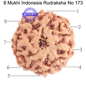 8 Mukhi Rudraksha from Indonesia - Bead No. 173