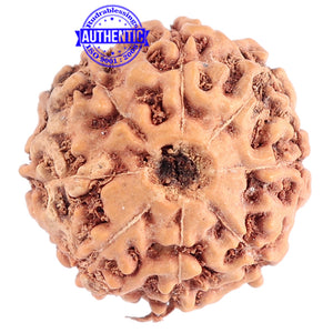 8 Mukhi Rudraksha from Indonesia - Bead No. 174
