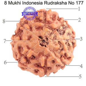 8 Mukhi Rudraksha from Indonesia - Bead No. 177