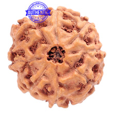 Load image into Gallery viewer, 8 Mukhi Rudraksha from Indonesia - Bead No. 178