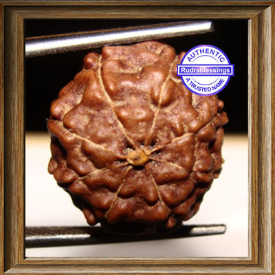 8 Mukhi Rudraksha from Indonesia - Big Size