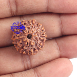 9 Mukhi Rudraksha from Indonesia - Bead No. 178
