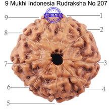 Load image into Gallery viewer, 9 Mukhi Rudraksha from Indonesia - Bead No. 207