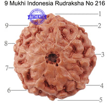 Load image into Gallery viewer, 9 Mukhi Rudraksha from Indonesia - Bead No. 216