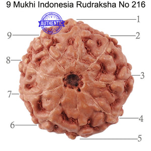 9 Mukhi Rudraksha from Indonesia - Bead No. 216