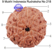 Load image into Gallery viewer, 9 Mukhi Rudraksha from Indonesia - Bead No. 218