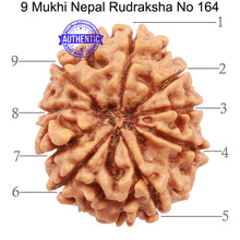 Load image into Gallery viewer, 9 Mukhi Nepalese Rudraksha - Bead No. 164