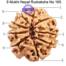 Load image into Gallery viewer, 9 Mukhi Nepalese Rudraksha - Bead No. 165