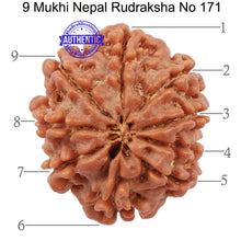 Load image into Gallery viewer, 9 Mukhi Nepalese Rudraksha - Bead No. 171