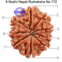 Load image into Gallery viewer, 9 Mukhi Nepalese Rudraksha - Bead No. 172