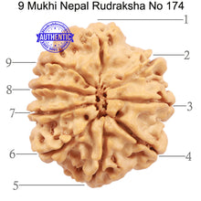Load image into Gallery viewer, 9 Mukhi Nepalese Rudraksha - Bead No. 174