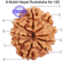 Load image into Gallery viewer, 9 Mukhi Nepalese Rudraksha - Bead No. 182