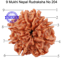 Load image into Gallery viewer, 9 Mukhi Nepalese Rudraksha - Bead No 204