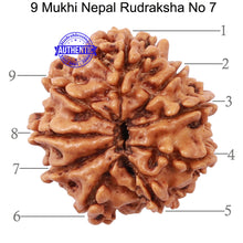 Load image into Gallery viewer, 9 Mukhi Nepalese Rudraksha - Bead No 7