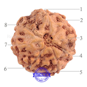 8 Mukhi Rudraksha from Indonesia - Bead No. 156 (Gold Plated bracket)