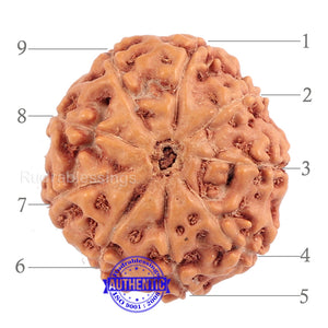 9 Mukhi Rudraksha from Indonesia - Bead No. 186 (Gold Plated Bracket)