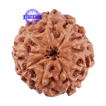 Load image into Gallery viewer, 9 Mukhi Rudraksha from Indonesia - Bead No. 32
