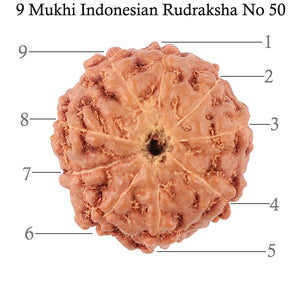 9 Mukhi Rudraksha from Indonesia - Bead No. 50