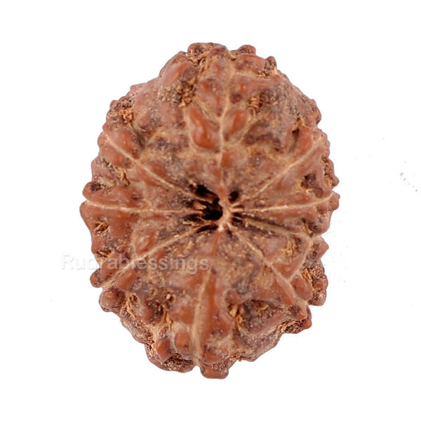 9 Mukhi Rudraksha from Indonesia - Bead No. 53