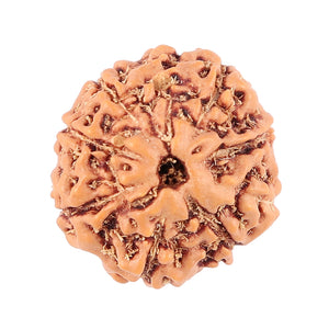 9 Mukhi Rudraksha from Indonesia - Bead No. 70