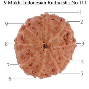9 Mukhi Rudraksha from Indonesia - Bead No. 111