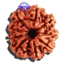 Load image into Gallery viewer, 9 Mukhi Nepalese Rudraksha - Bead No. 145