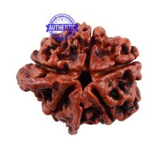 Load image into Gallery viewer, Nepalese Double Ganesh Rudraksha - Bead No. 112