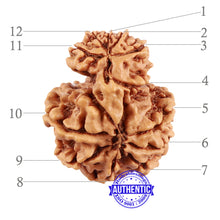 Load image into Gallery viewer, 12 Mukhi Nepalese Garbh Gauri Rudraksha - Bead No. 23