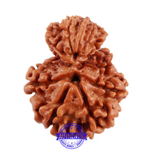 Load image into Gallery viewer, 10 Mukhi Nepalese Garbh Gauri Rudraksha - Bead No. 32