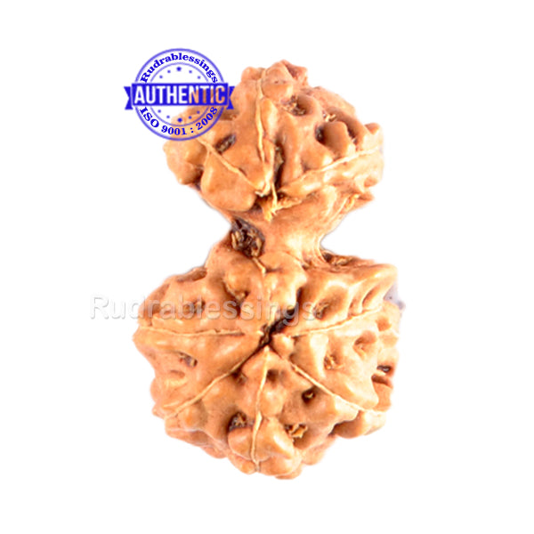 Gaurishanker Rudraksha from Indonesia - 95