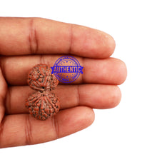 Load image into Gallery viewer, Gaurishanker Rudraksha from Indonesia - 152