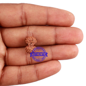 Gaurishanker Rudraksha from Indonesia - 159