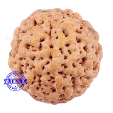 Load image into Gallery viewer, Non Mukhi Rudraksha from Indonesia - Bead No. 19