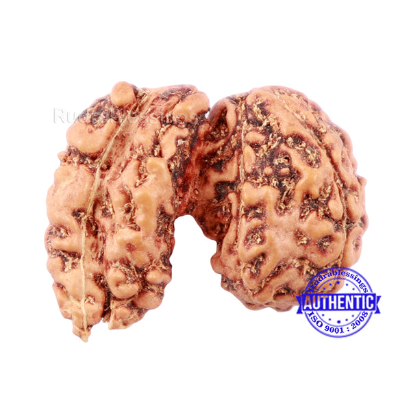 Trijudi Rudraksha from Indonesia Bead No. - 41