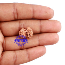 Load image into Gallery viewer, Trijudi Rudraksha from Indonesia Bead No. - 42