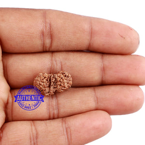 Trijudi Rudraksha from Indonesia Bead No. - 43