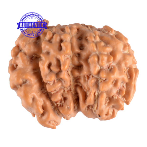 Trijudi Rudraksha from Indonesia Bead No. - 25