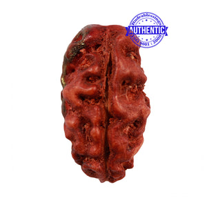 2 Mukhi Indonesian Rudraksha with Ganesha Marking