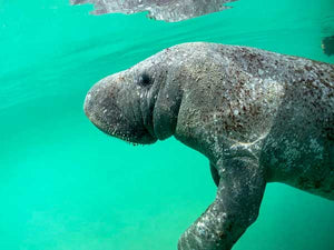 Bob the Merry Manatee